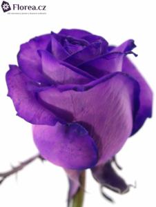 fialova-ruze